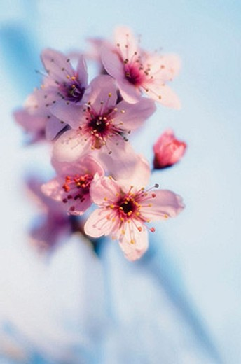 Stock Photo: 1566-381305 Cherry Blossom. Prunus cerasifera. March 2006, Maryland, USA
