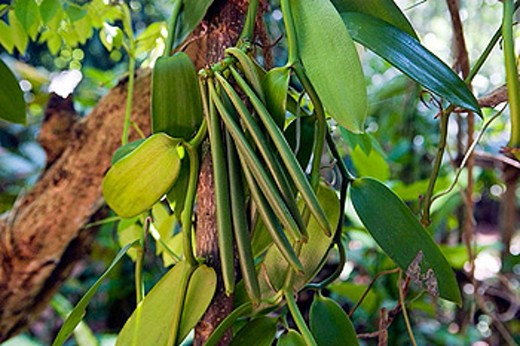 Spices garden. Vanilla plant. Sri Lanka. April 2007. : Stock Photo