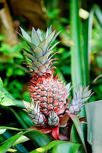 Stock Photo: 1566-382287 Spices garden. Red pine apple. Sri Lanka. April 2007.