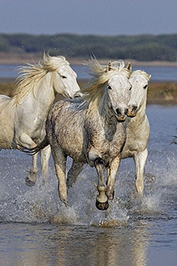 Camargue horses. Saintes Maries de la Mer. Bouches du Rhone. Camargue. France. : Stock Photo