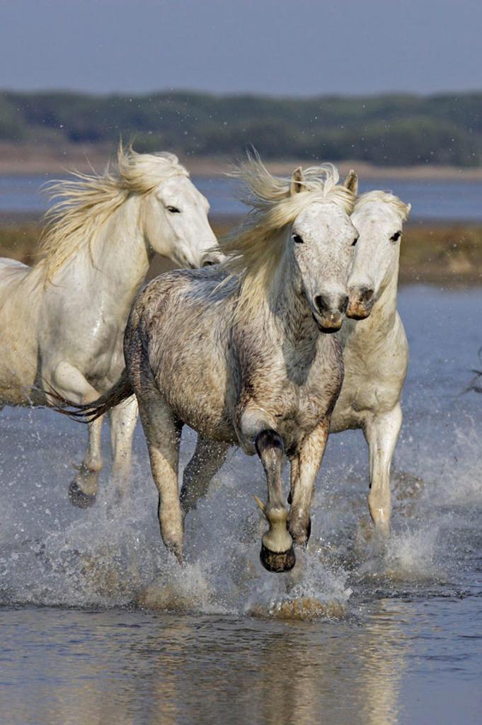 Stock Photo: 1566-382397 Camargue horses. Saintes Maries de la Mer. Bouches du Rhone. Camargue. France.