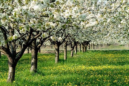 Stock Photo: 1566-382566 Germany, Brandenburg, Werder/Havel, Cherry Blossom