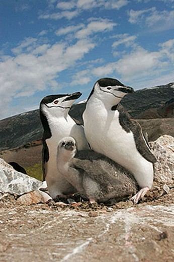 Stock Photo: 1566-383072 Chinstrap penguins (Pygoscelis antarctica) in their breeding and nesting grounds in and around the Antarctic Peninsula.