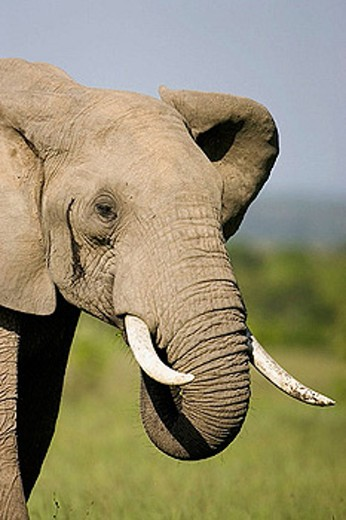 Elephant approaches in the Masai Mara : Stock Photo