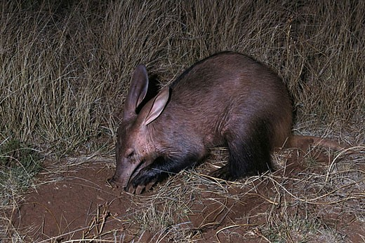 Aardvark (Orycteropus afer) foraging for ants and termites. Tussen-die-Riviere Game Farm, South Africa : Stock Photo