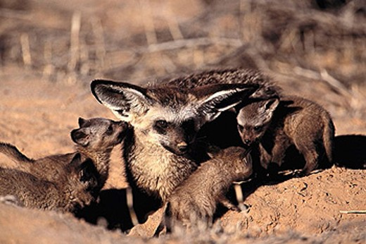 Bat-eared Fox (Otocyon megalotis), one week old pups. Kalahari-Gemsbok National Park, South Africa : Stock Photo