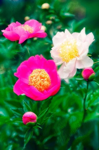 Group of Peonies with Flowers and Buds. Paeonia lactiflora. May 2006. Maryland, USA. : Stock Photo