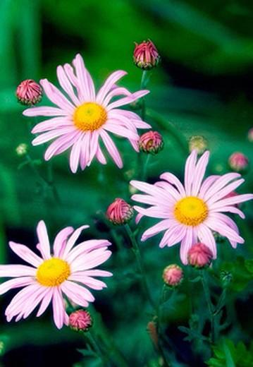 Pink Daisy ´Clara Curtis´. Chrysanthemum rubellum, dendrathema. May 2006. Maryland, USA. : Stock Photo