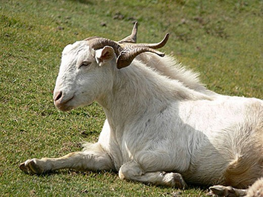 Himalayan goats, Capra hircus, Chakrata Himalay, India. : Stock Photo