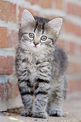 Domestic Cat , Germany, kitten, : Stock Photo