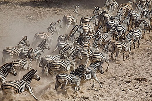 A herd of Burchell´s zebras (Equus burchelli) running away from a waterhole in the dry river bed of the boteti river, Botswana : Stock Photo