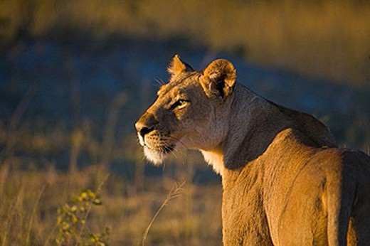 Stock Photo: 1566-385922 Lioness (Panthera leo)