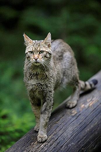 Stock Photo: 1566-387731 European Wildcat (Felis silvestris). Bavarian Forest National Park, Germany.