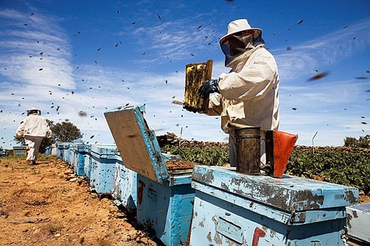 Stock Photo: 1566-387811 Beekeepers working with hives. Beekeeping in the Arribes del Duero Natural Park. Hinojosa del Duero. Salamanca. Castilla y Leon. Spain.