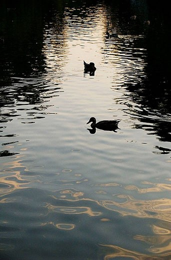 Ducks in the lake. Budapest. Hungary. : Stock Photo