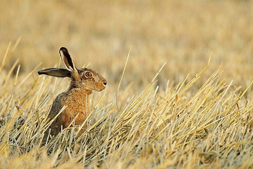 Lepus europaeus, Brown hare, European Brown hare, July, Germany : Stock Photo