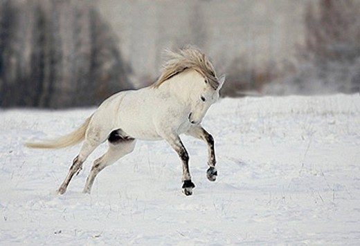 Lusitano horse jumping. Sweden : Stock Photo