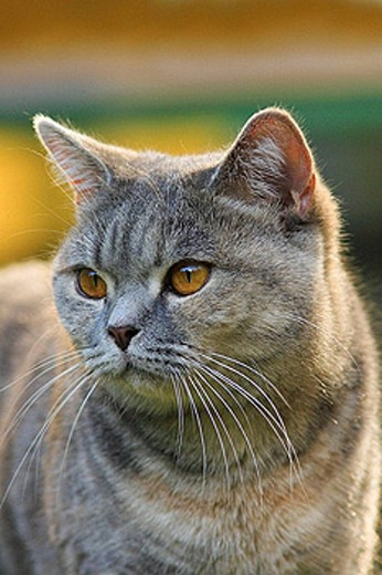Cat. British Shorthair : Stock Photo