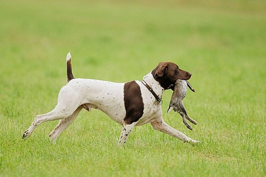 Hound, German short_ haired with rabbit, Germany : Stock Photo