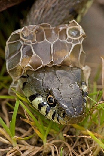 Stock Photo: 1566-391093 Grass Snake (Natrix natrix) Shedding Skin. UK