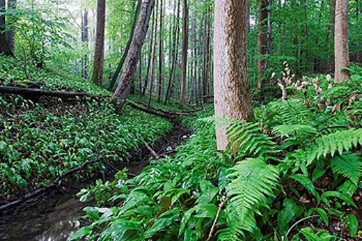 Stock Photo: 1566-392967 After rain in a beech forest. Ramson blooming in beech forest at a small brook - Bavaria/Germany