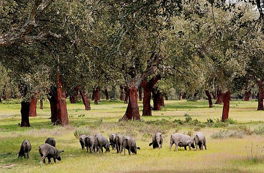 Iberian pigs. Monfrague Natural Park. Caceres province. Extremadura. Spain : Stock Photo
