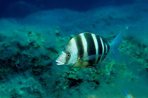 Zebra Sea Bream (Diplodus cervinus). Galicia, Spain : Stock Photo