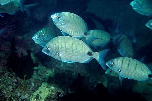 Stock Photo: 1566-394454 White Sea Bream (Diplodus sargus). Galicia, Spain