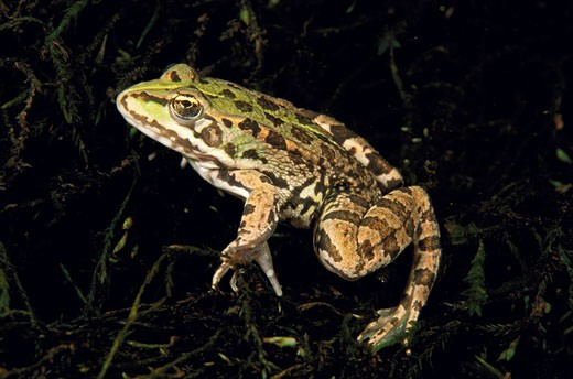 Stock Photo: 1566-395186 Iberian Green Frog (Rana perezi). Galicia, Spain