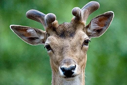 Fallow Deer (Cervus dama). Schleswig-Holstein, Germany : Stock Photo