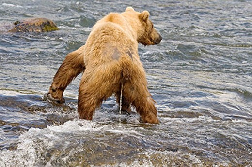Brown Bear urinating in the river in Katmai National Park, Alaska, USA : Stock Photo