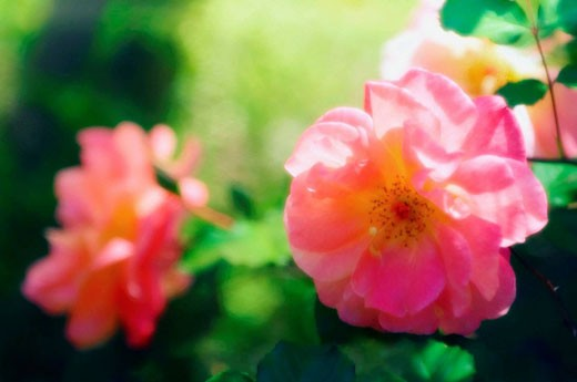 Stock Photo: 1566-396145 Pink Roses. Rosa hybrid. May 2006, Maryland, USA