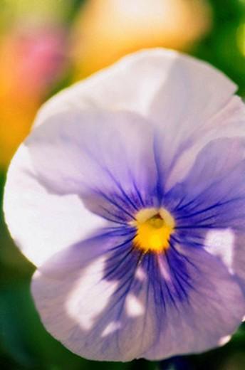 Stock Photo: 1566-396278 Pansy Flower Close_up. Viola x wittrockiana. May 2007, Maryland, USA