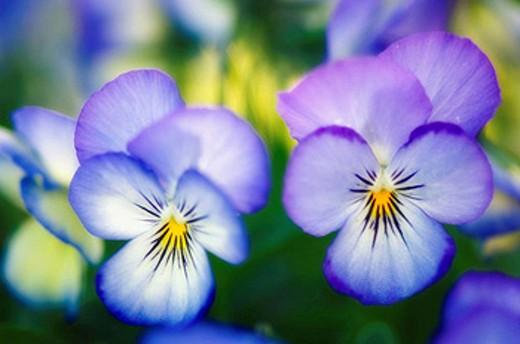 Pansy Flowers. Viola x wittrockiana. May 2007, Maryland, USA : Stock Photo