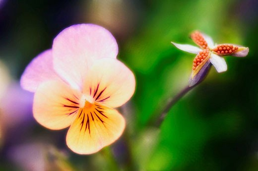Pansy Flower and Seedpod. Viola x wittrockiana. May 2007, Maryland, USA : Stock Photo