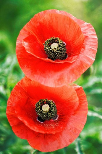 Two Red Poppy Flowers. Papaver rhoeas. May 2007, Maryland, USA : Stock Photo