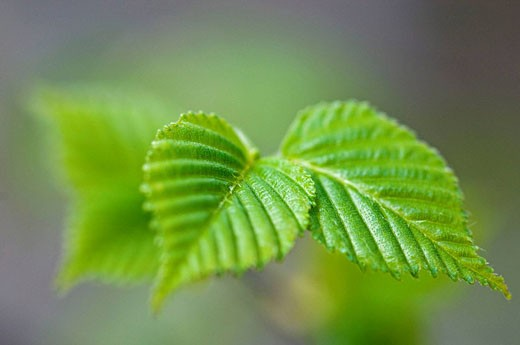 White birch (Betula papyrifera), emerging leaves in spring : Stock Photo