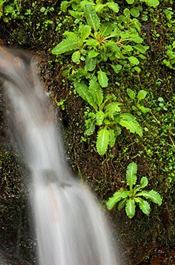 Stock Photo: 1566-396576 Waterfall with brook lettuce on Kanati Creek. Appalachian, USA