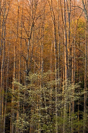 Woodland tree trunks and dogwood in evening light : Stock Photo