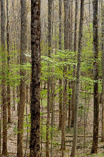 Deciduous woodland in early spring with flowering dogwood : Stock Photo