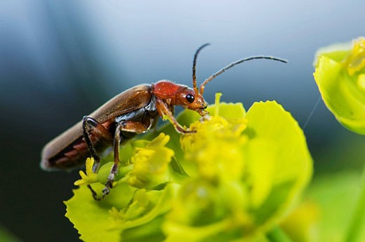 Cantharid beetle on Spurge flower : Stock Photo