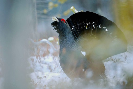 Stock Photo: 1566-397369 Capercaillie (Tetrao urogallus), displaying male in the forest. Finland.