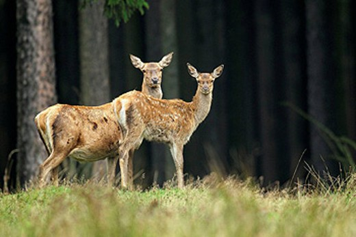 Red Deer (Cervus elaphus), female with calf. September, Germany : Stock Photo