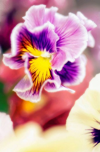 Lavender Pansy. Viola x wittrockiana. May 2007, Maryland, USA : Stock Photo