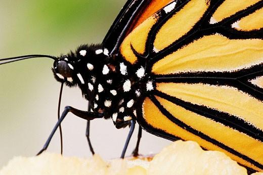Monarch Butterfly (Danaus plexippus) sucking at a fruit : Stock Photo