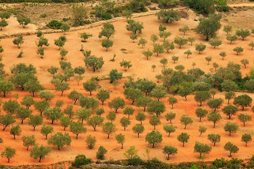 Olive grove. Turia river basin, Chera. Valencia. Comunidad Valenciana. Spain. : Stock Photo