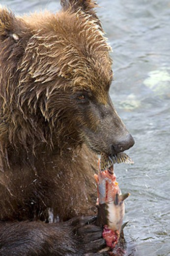 Stock Photo: 1566-398628 Adult Grizzly Bear feeds on Salmon in Brooks River. Alaska, USA