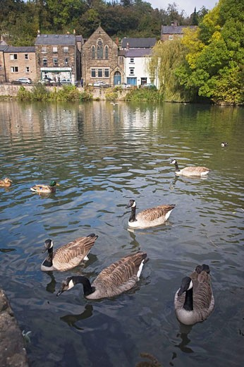 Canada Geese on village pond, Cromford, Derbyshire, in the  Peak District National Park : Stock Photo