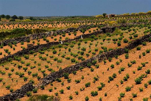 Vineyards. Villalcampo. Arribes del Duero. Zamora, Spain. : Stock Photo