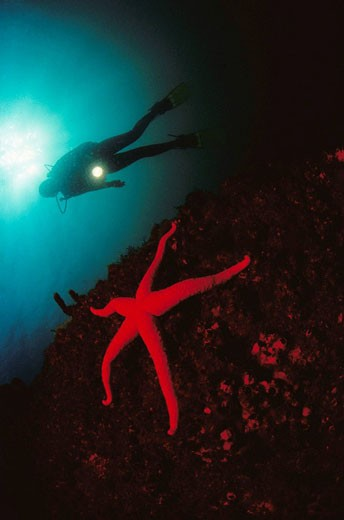 Stock Photo: 1566-401337 Diver and starfish